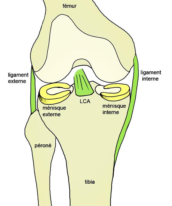 Anatomy - KNEE - generality - Knee Anatomy, anterior cruciate ...